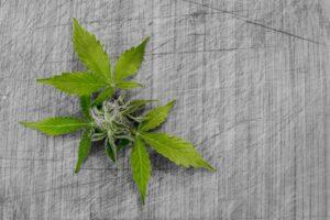 Jak rozpoznać dopalacze od marihuany